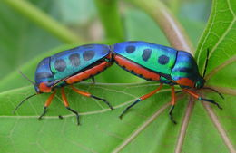 Image of Rainbow Shield Bug