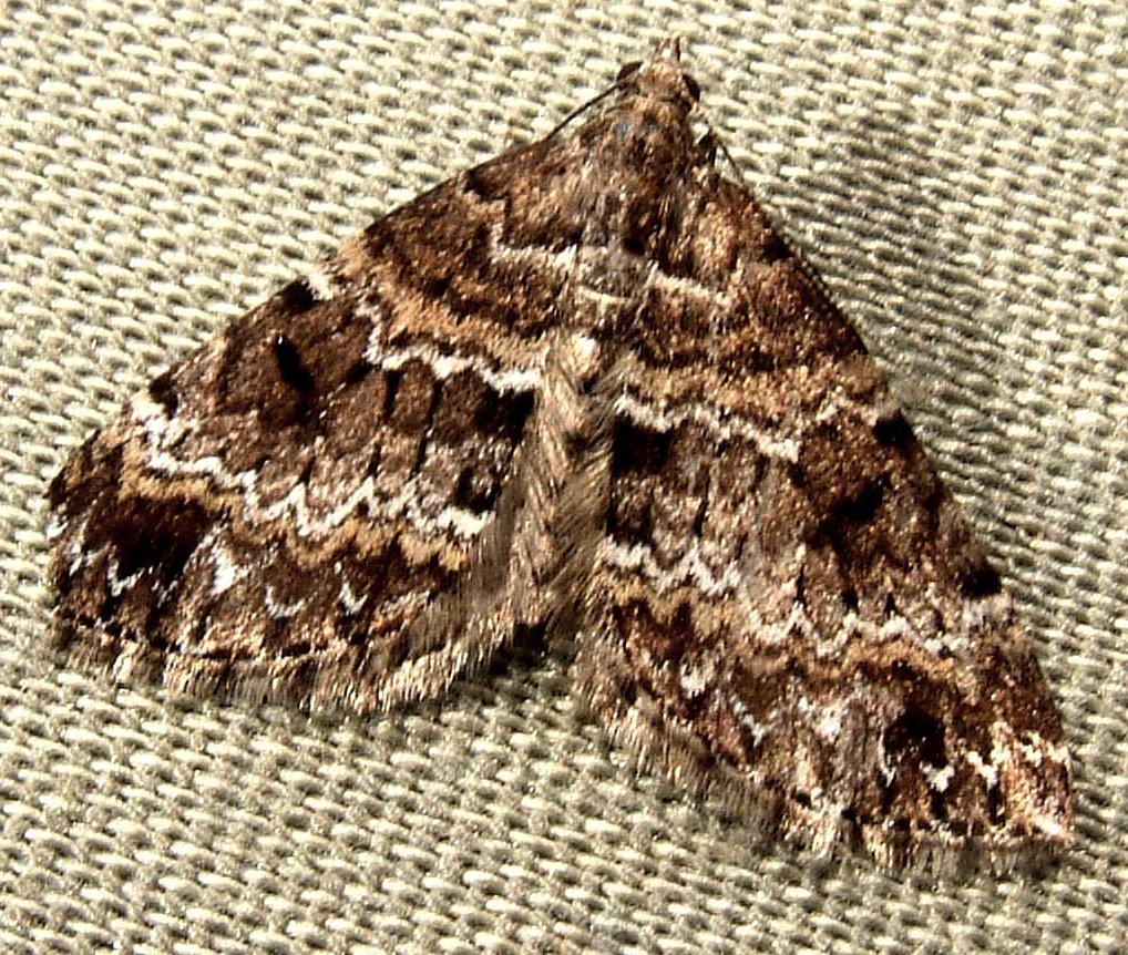 Image of <i>Perizoma grandis</i> Hulst 1896