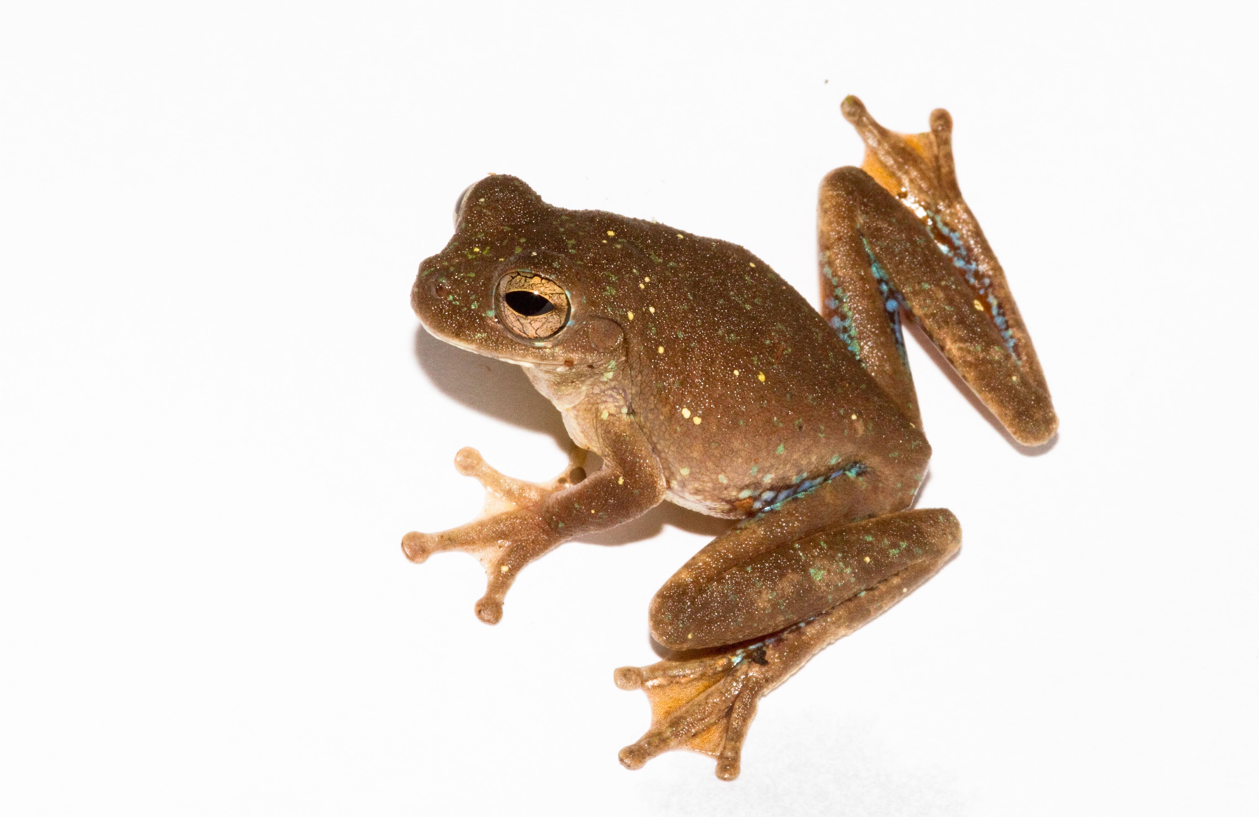 Image of Panama Cross-banded Treefrog