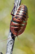 Image of Bronze Cockroach