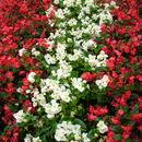 Image of <i>Begonia semperflorens-cultorum</i>