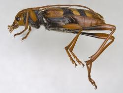 Image of <i>Aridaeus thoracicus</i> (Donovan 1805)