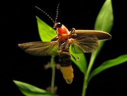 Image of common eastern firefly