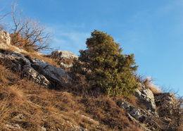 Image of <i>Juniperus <i>communis</i></i> communis