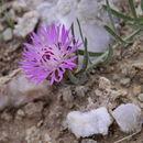 Image of <i>Centaurea linifolia</i> L.