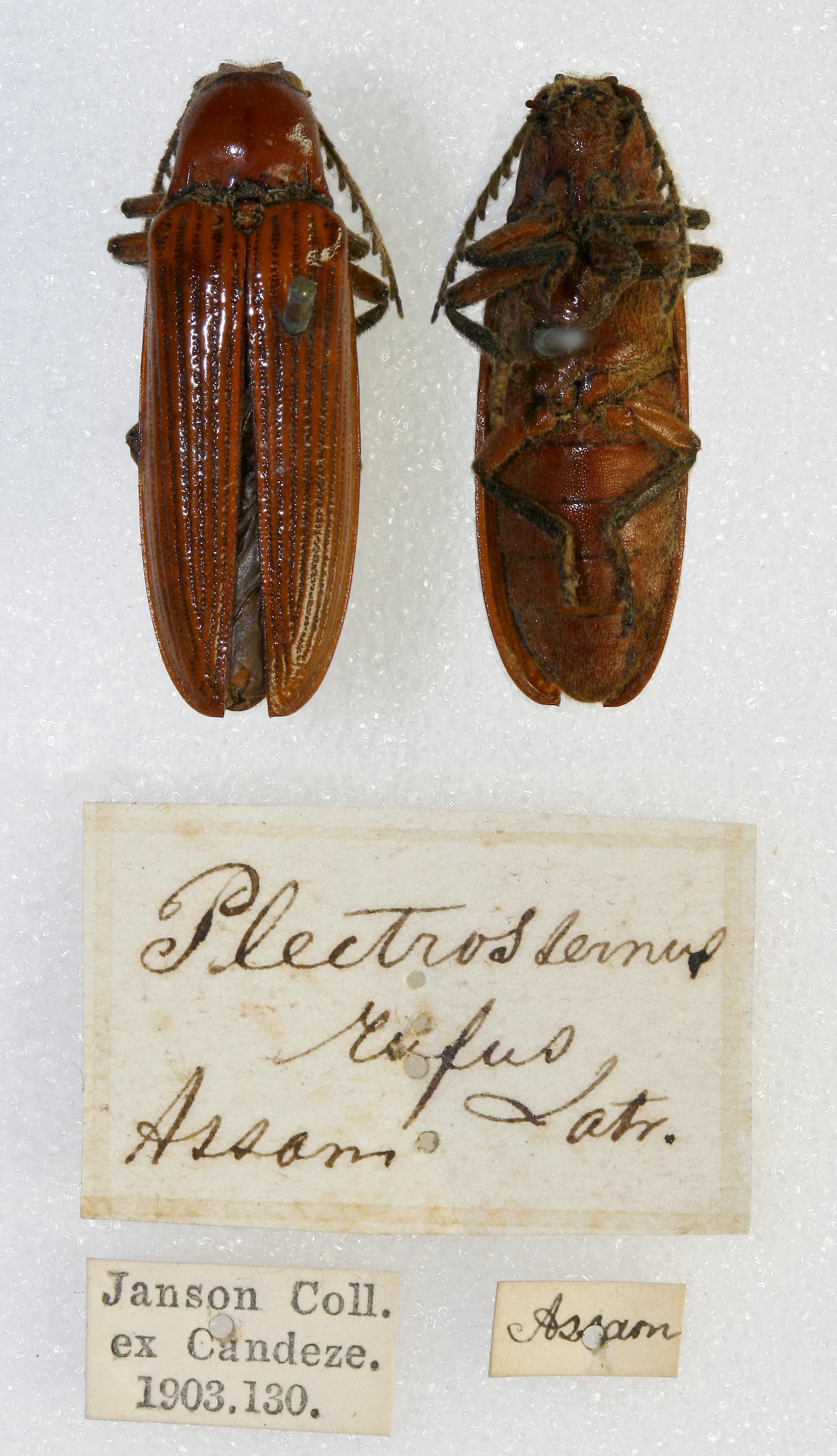 Image of <i>Plectrosternus rufus</i> Lacordaire 1857