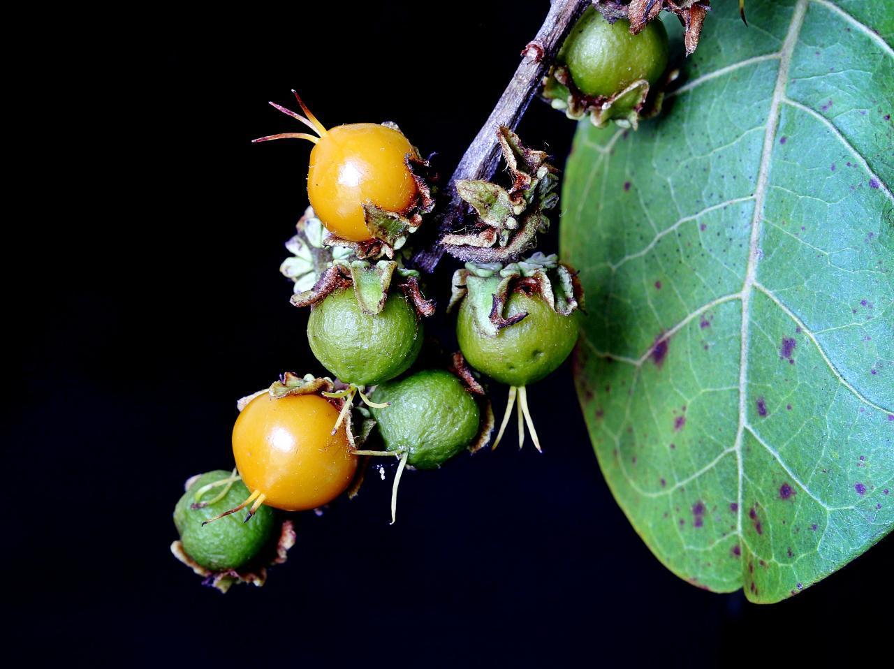 Image of locustberry