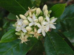Image of <i>Tarenna asiatica</i> (L.) Kuntze ex K. Schum.