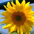 Image of common sunflower