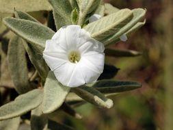 Image of wooly merremia
