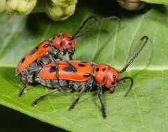 Image of Red Milkweed Beetle