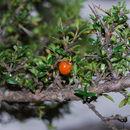 Image of <i>Coprosma nitida</i> Hook. fil.