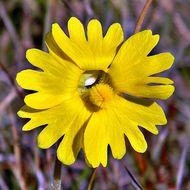 Image of Yellow Butterwort