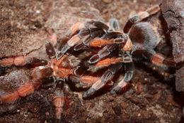 Image of Mexican redleg tarantula