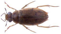 Image of <i>Berosus indicus</i>