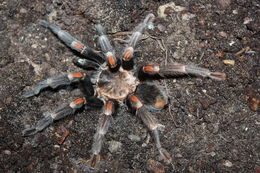 Image of Mexican flameknee tarantula