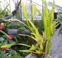 Image of <i>Miltonia regnellii</i> Rchb. fil.
