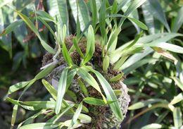 Image of <i>Miltonia spectabilis</i> Lindl.