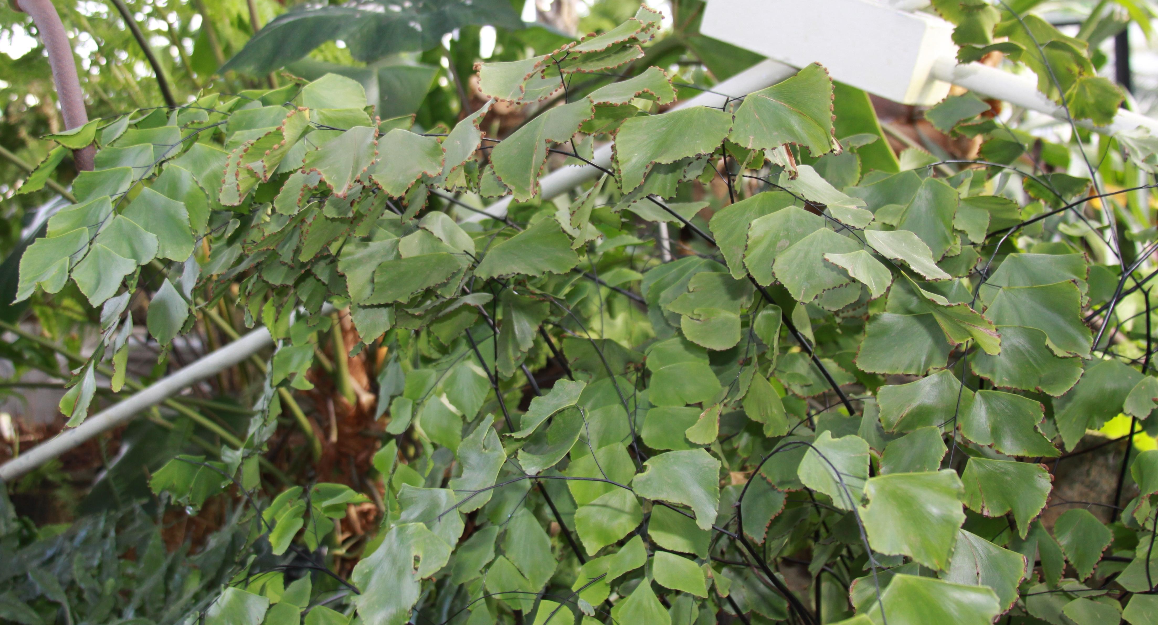Image of <i>Adiantum peruvianum</i> Kl.