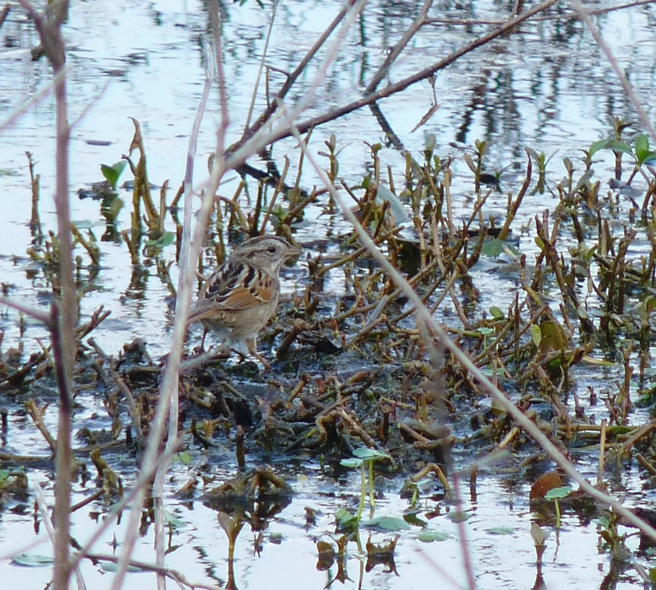 Image of Swamp Sparrow