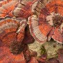 Image of <i>Daedaleopsis tricolor</i> (Bull.) Bondartsev & Singer 1941