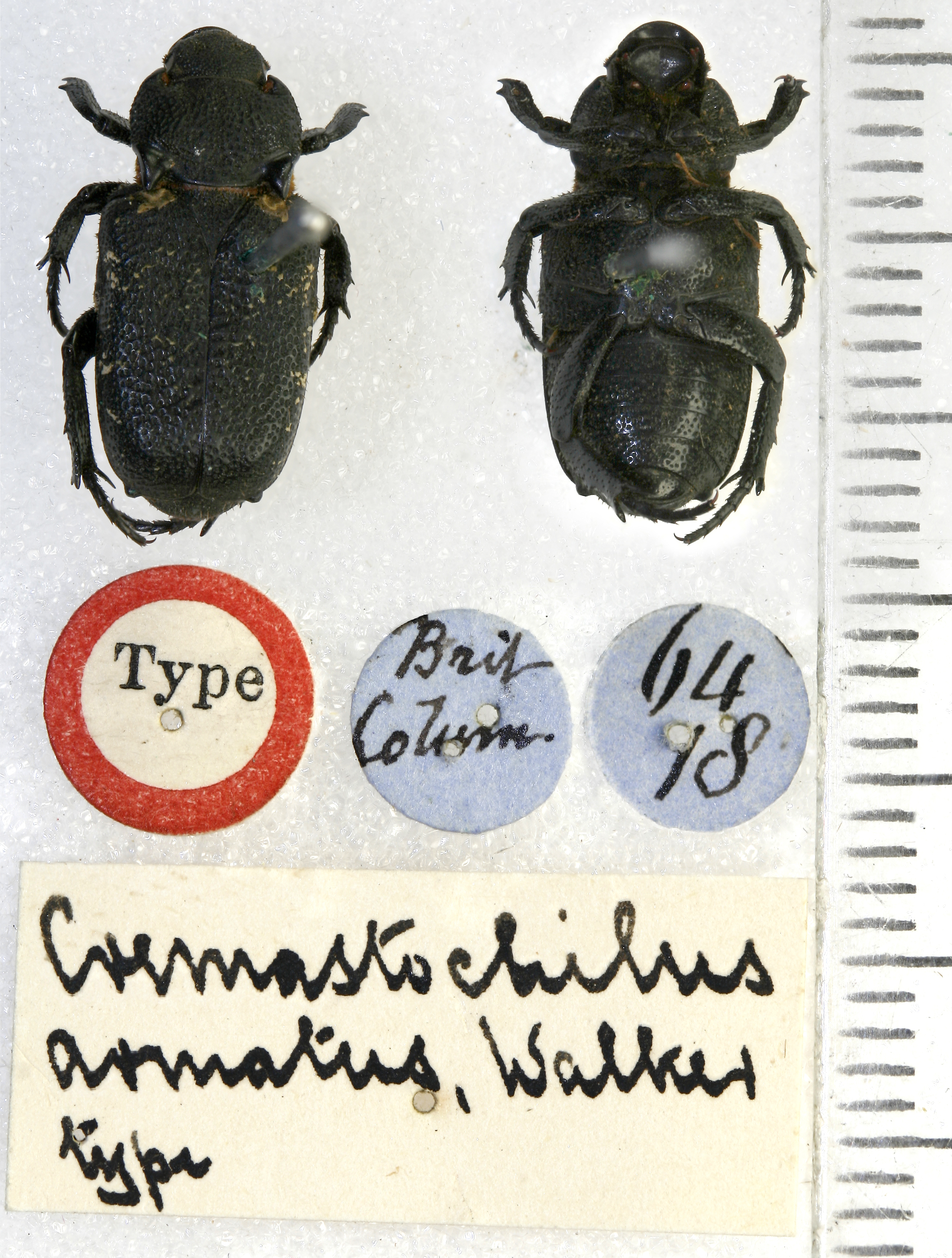 Image of <i>Cremastocheilus armatus</i> Walker 1866