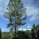 Image of Hispaniolan Pine