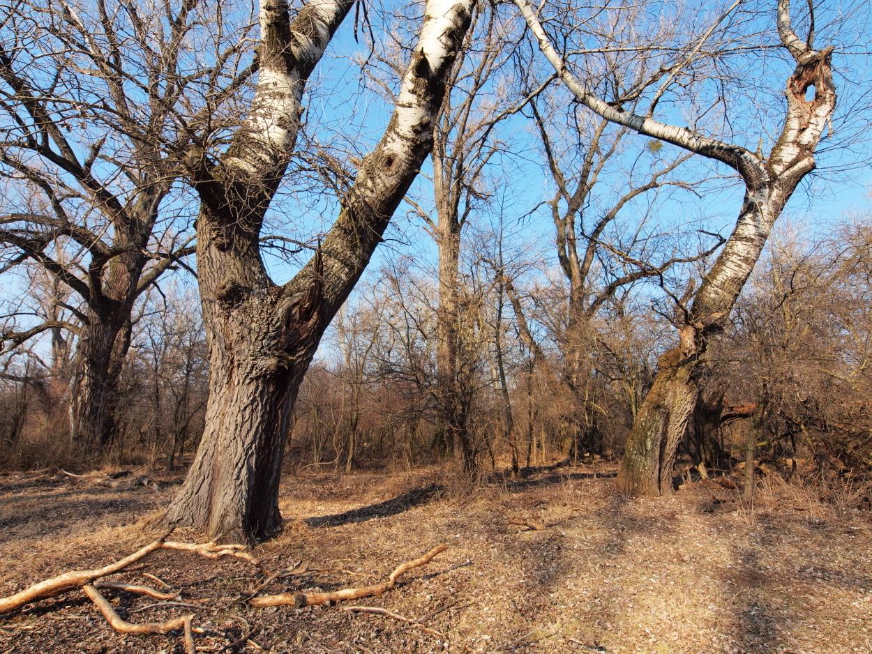Image of White Poplar