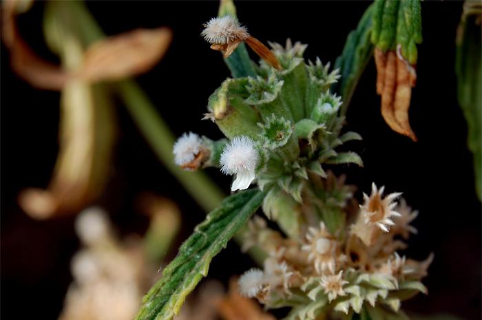Image of <i>Leucas stelligera</i> Wall. ex Benth.