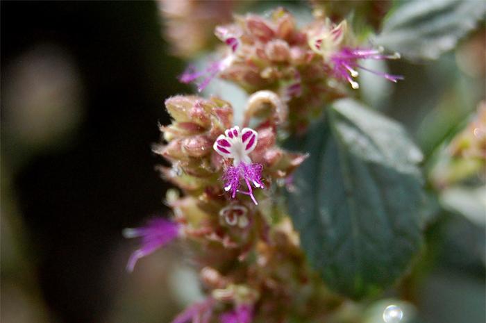 Image of <i>Pogostemon benghalensis</i> (Burm. fil.) Kuntze