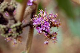 Image of <i>Callicarpa macrophylla</i> Vahl