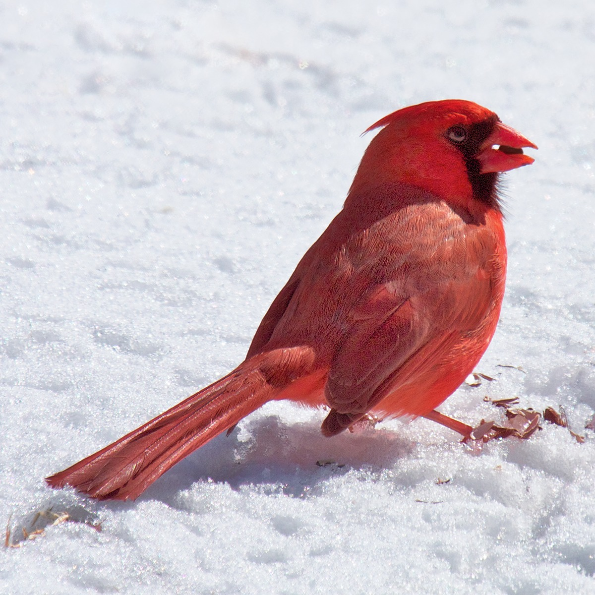 Image of Northern Cardinal