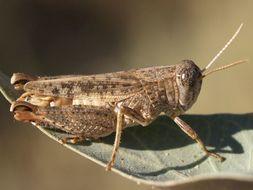 Image of <i>Calliptamus wattenwylianus</i> Pantel 1896