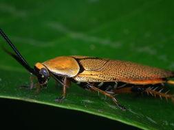 Image of bush cockroach