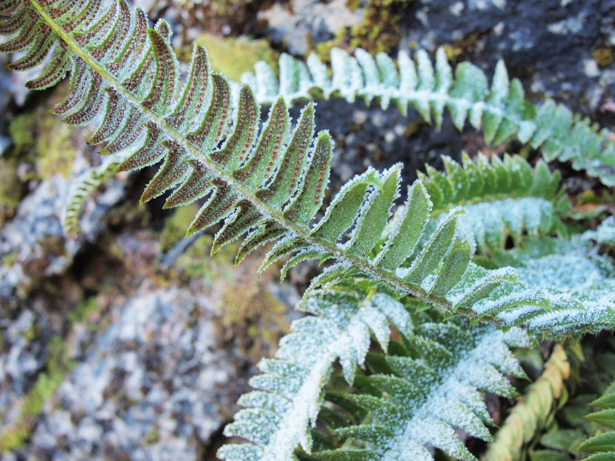 Image of northern hollyfern