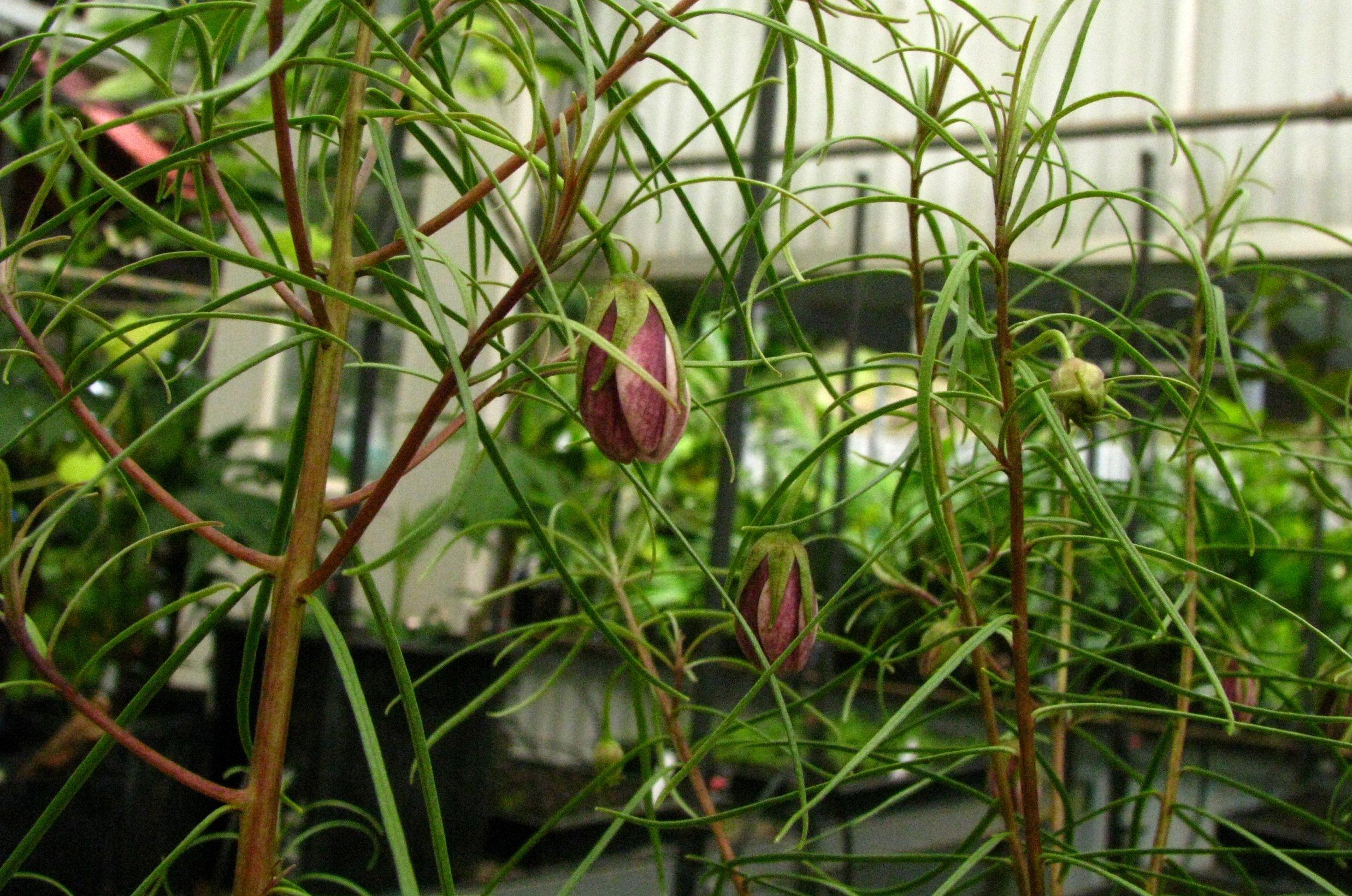 Image of <i>Lysimachia filifolia</i> C. N. Forbes & Lydgate