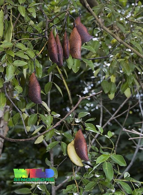Image of Fevernut