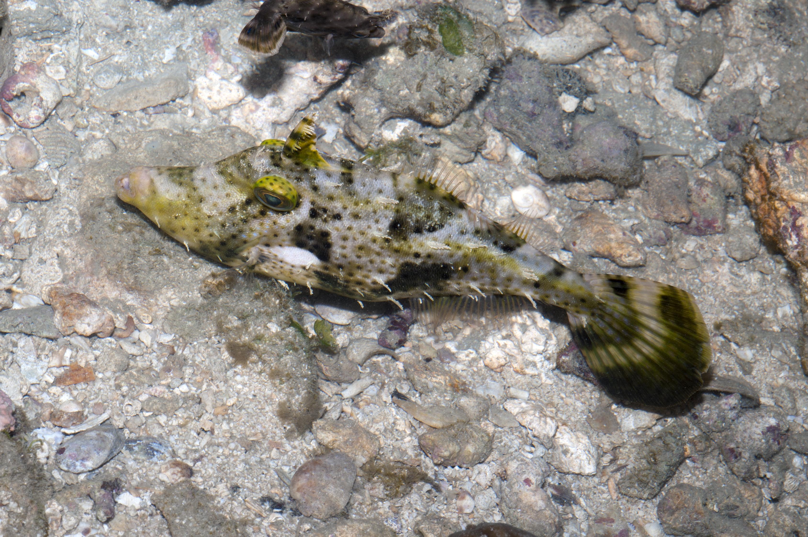 Image of Strap-weed filefish