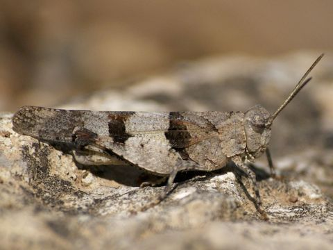 Image of Blue-Winged Grasshopper