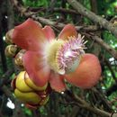 Image of Cannonball Tree