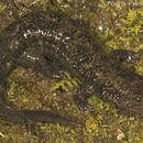 Image of Blackbelly Salamander