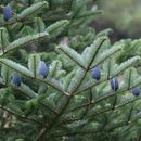 Image of Bhutan Fir