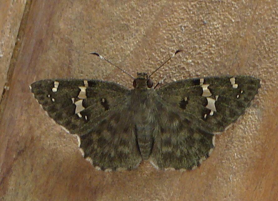 Image of <i>Celaenorrhinus fritzgaertneri</i> Bailey 1880