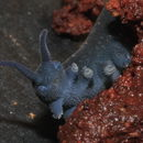Image of Tallaganda velvet worm
