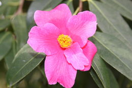 Image of Pitard's Camellia