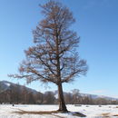 Image of Siberian Larch