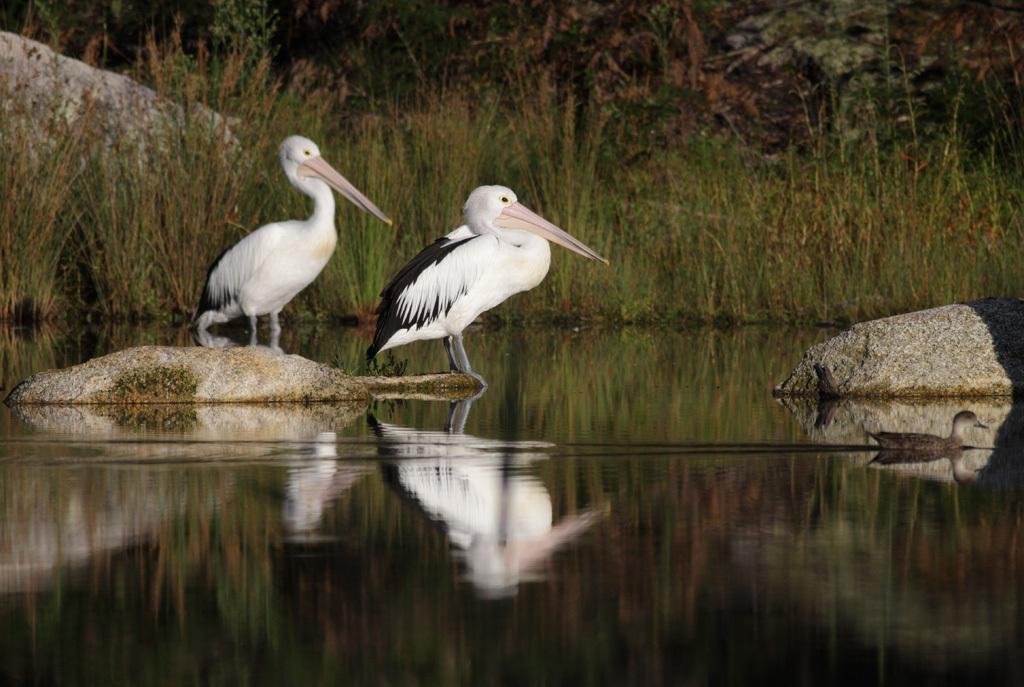 Image of Australian Pelican