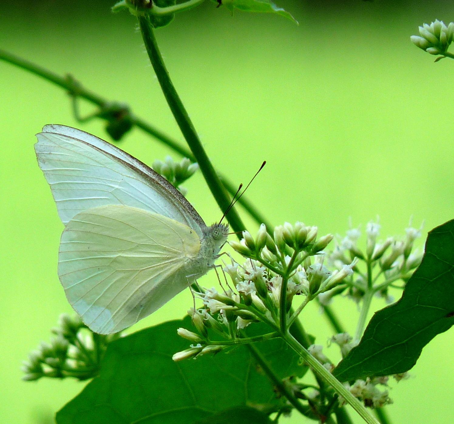 Image of <i>Appias albina</i> (Boisduval 1836)