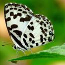 Image of Common Pierrot