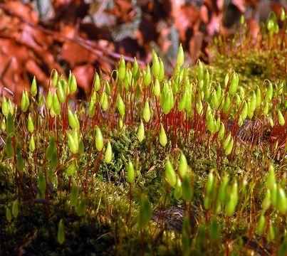 Image of brachythecium moss